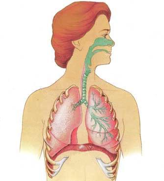 respiratory system my amazing body